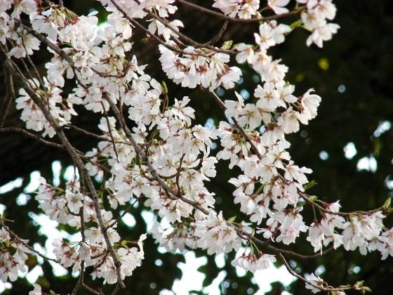 今宮大宮桜 118