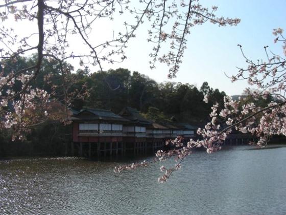 長岡桜 047
