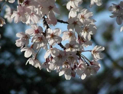 長岡桜 029