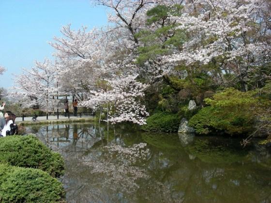 円山高台寺桜 055