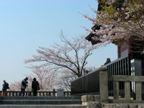 円山高台寺桜 021