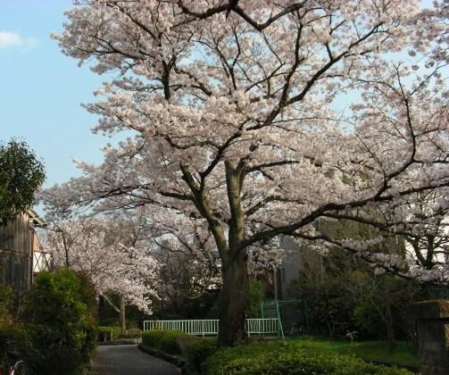 桜鳴滝、京大 070