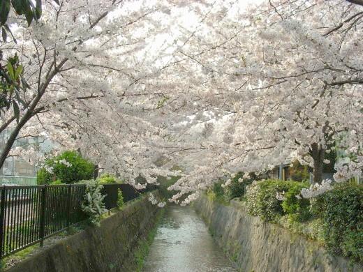 桜鳴滝、京大 063