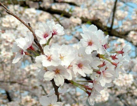 桜鳴滝、京大 056
