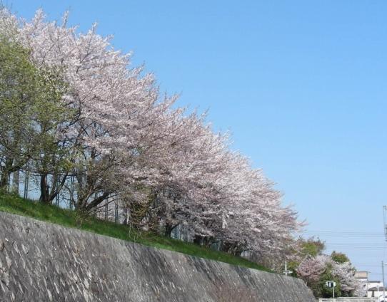勝持寺桜 014