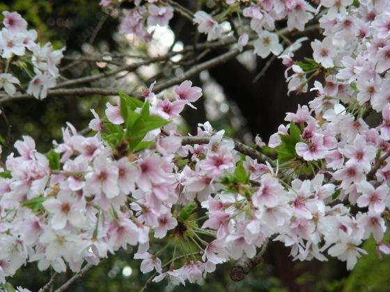勝持寺桜 118