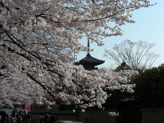 円山高台寺桜 192