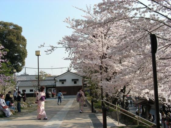 円山高台寺桜 191
