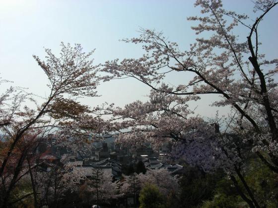円山高台寺桜 188