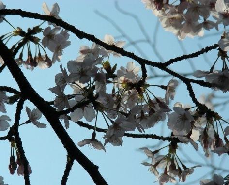 円山高台寺桜 179