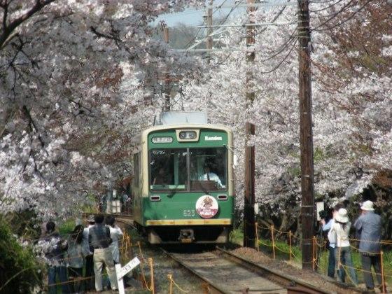 桜トンネル白川桜 009