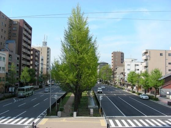 堀川桜 011