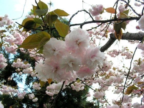 堀川桜 075
