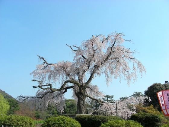 円山高台寺桜 075