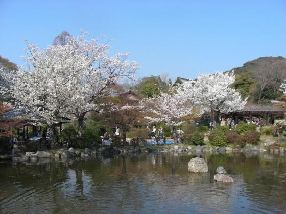 円山高台寺桜 080