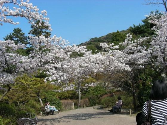 円山高台寺桜 084