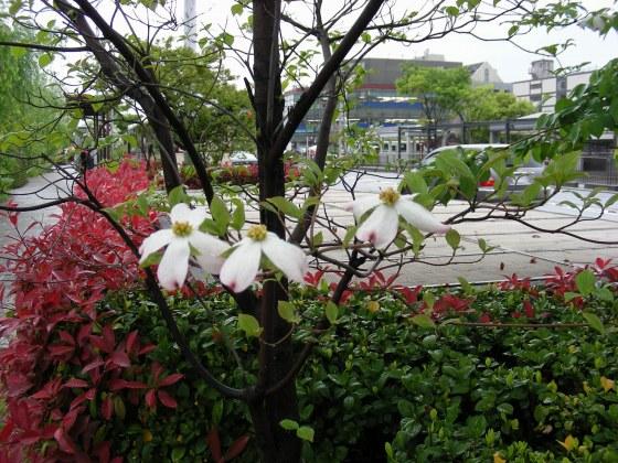 三条花水木 014