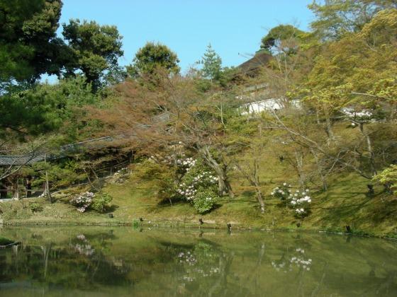 円山高台寺桜 114
