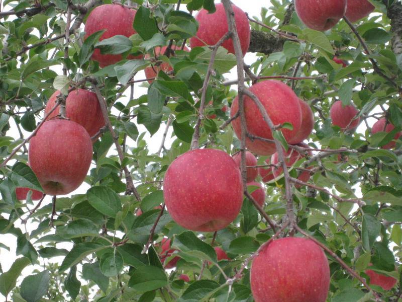 リンゴの木 アップ