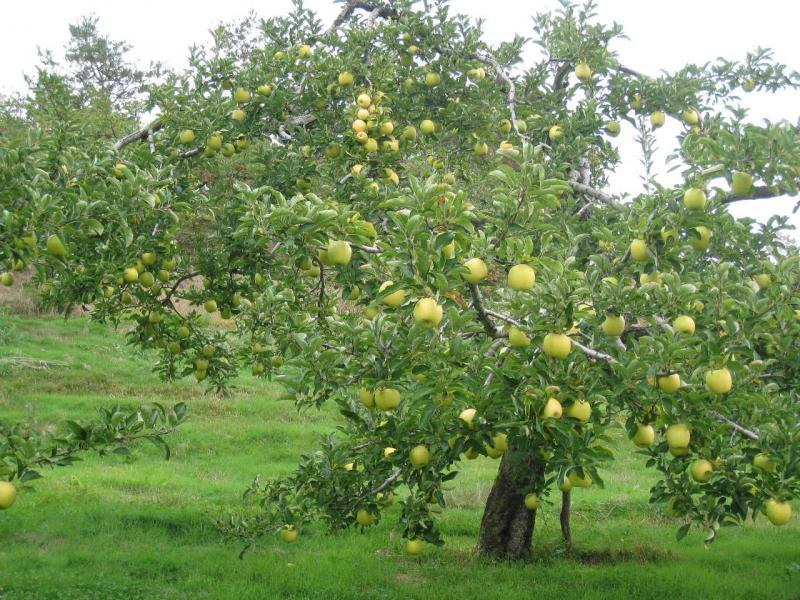 リンゴの木 王林