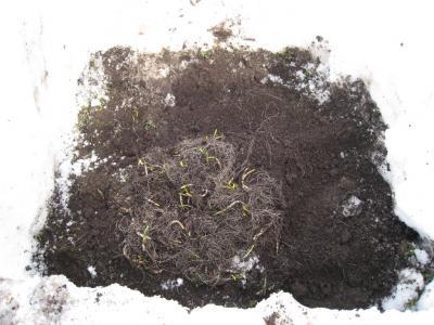 土の下からひろっこを掘りだしたところ 3
