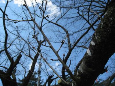 千秋公園内の桜のつぼみです。