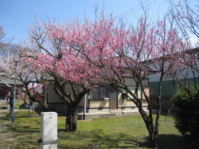 菅原神社の紅梅①