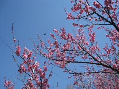 菅原神社の紅梅②