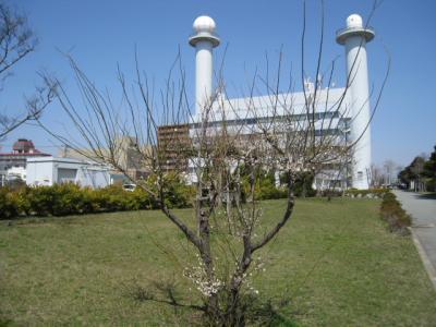 秋田地方気象台の梅の標本木です。