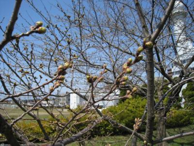 秋田地方気象台の桜の標本木のつぼみです。