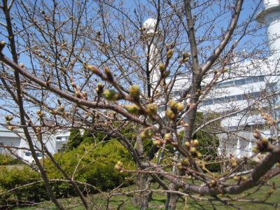 秋田地方気象台の桜の標本木です。