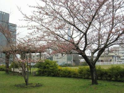 秋田地方気象台の標本木の開花の様子①