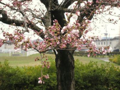秋田地方気象台の標本木の開花の様子②