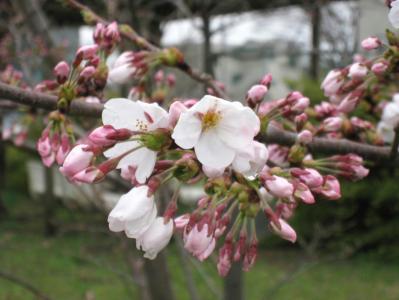 秋田地方気象台の標本木の開花の様子③