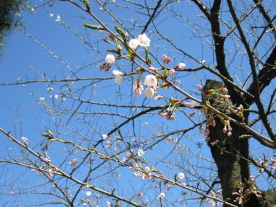 千秋公園桜まつり③
