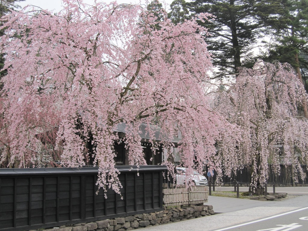 「角館 桜」的圖片搜尋結果