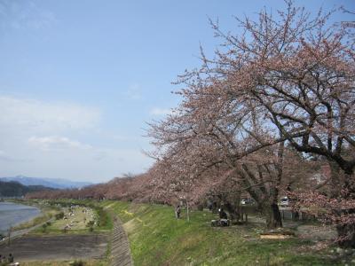 桧木内川の堤の桜 1