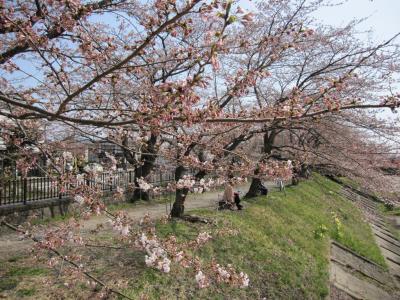 桧木内川の堤の桜 2