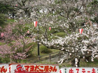 千秋公園の桜①