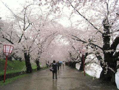 弘前の桜080