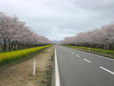 大潟村の菜の花・桜ロード②