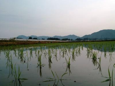 今朝の田圃の風景②