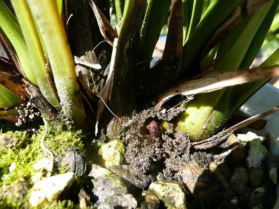花芽と小アリ 005