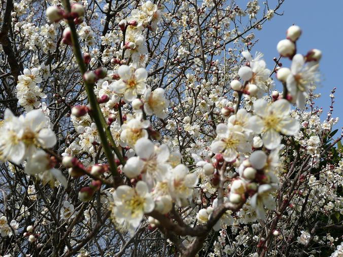 梅の開花 09,2,14 037