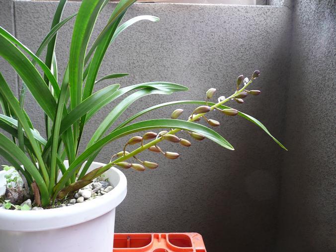 キンの花芽 09,3,25