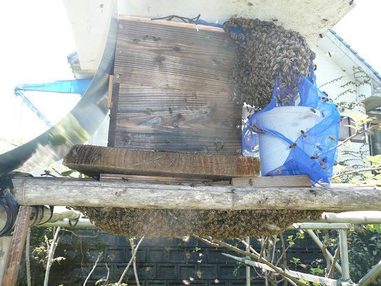庭の分蜂 09,4,15 028