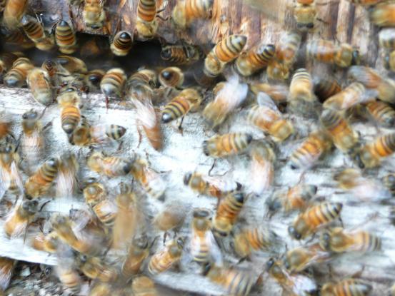 洋蜂の入居 09,5,23 060