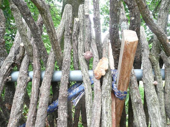 ホダ木を立てる 09,6,7 004