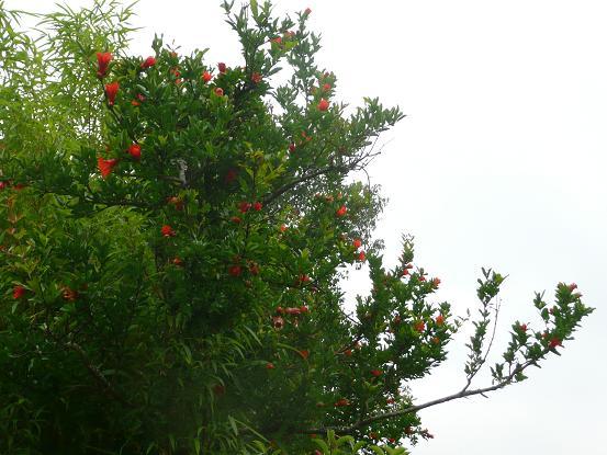 果樹・09,6,13 002