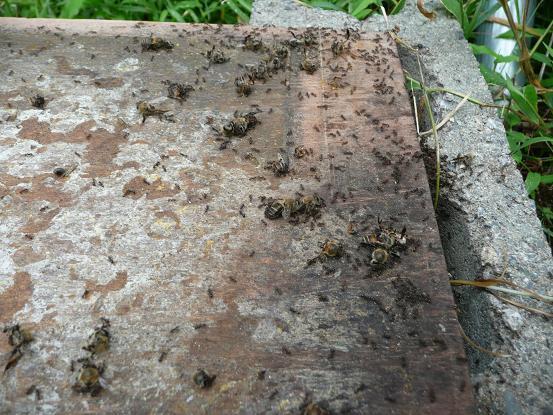 蜂子出し逃去  09,7,15 002